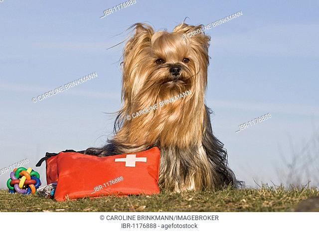 Yorkshire Terrier Dog Bag Stock Photos And Images Age Fotostock