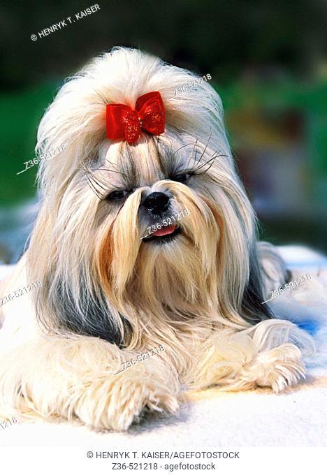 Shih Tsu dog with red ribbon portrait