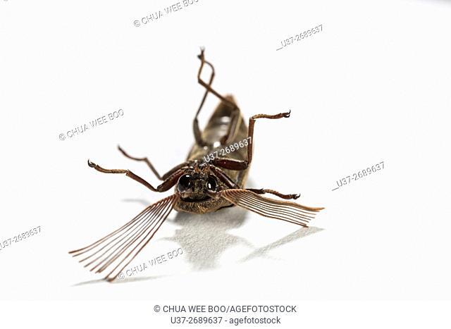 Long horn beetle. Image taken at Kampung Skudup, Sarawak, Malaysia
