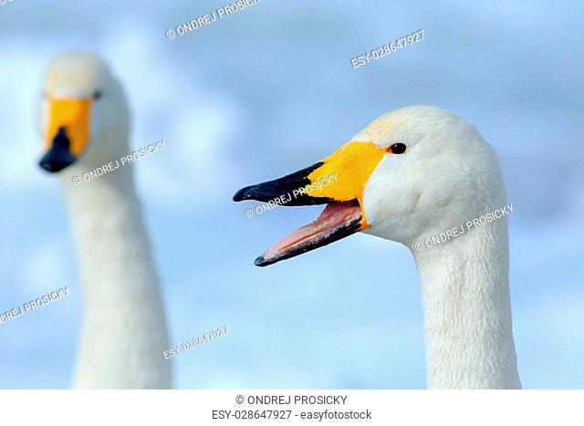 Whooper Swan, Cygnus cygnus, bird portrait with open bill