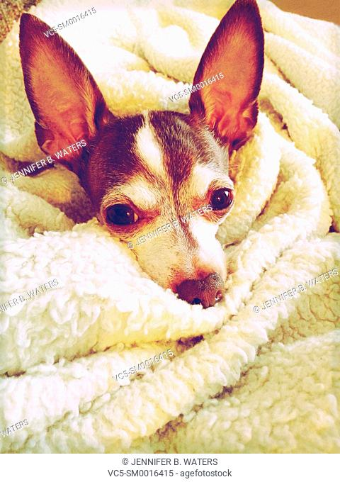 An adult male chihuahua lying down and wrapped in a blanket