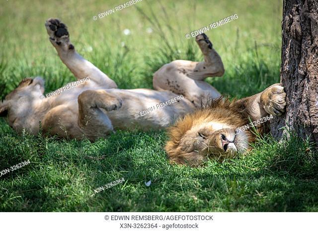 Lions, (Panthera leo) in Maasai Mara National Park, Kenya, Africa