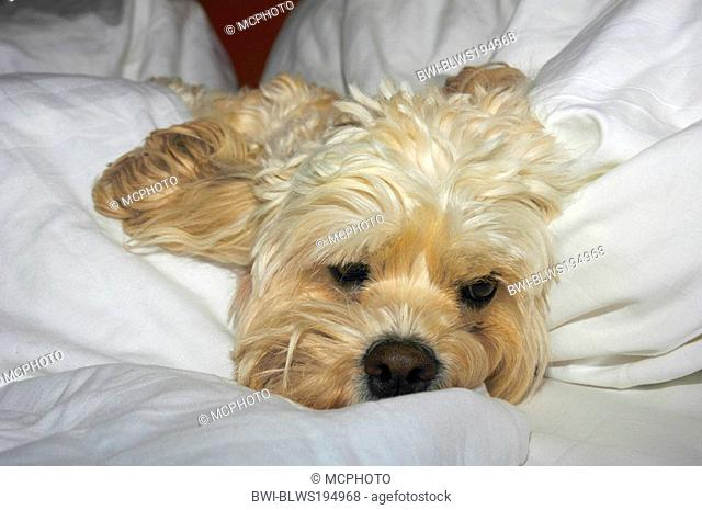 mixed breed dog Canis lupus f. familiaris, lying in bed