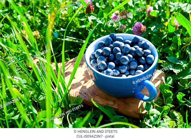 Cup of freshly picked blueberries in garden