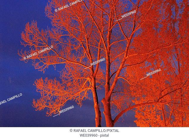 Poplar trees in winter