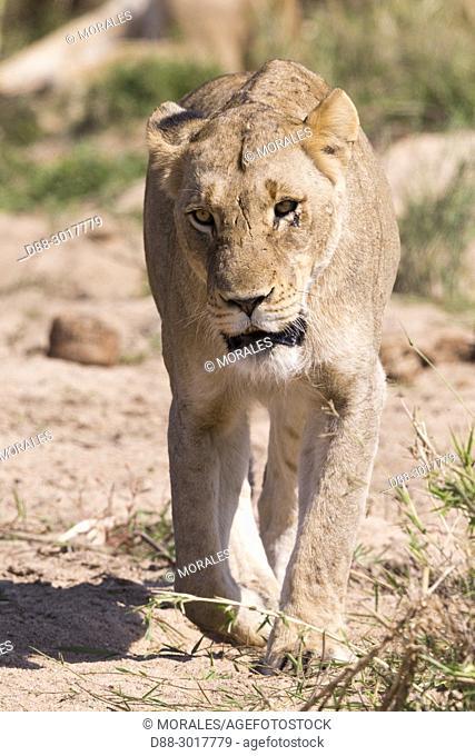 Africa, Southern Africa, South African Republic, Mala Mala game reserve, savannah, Lion (Panthera leo), female walking