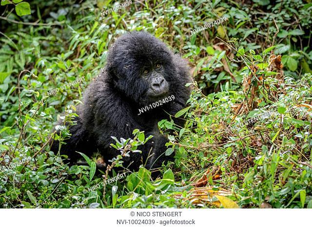 Young Mountain Gorilla (Gorilla beringei beringei), Nyakagezi gorilla group, Mgahinga Gorilla National Park, Virunga Volcanoes, Kisoro, Uganda, Africa