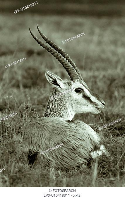 Monochrome closeup view of single wet impala lying in grass after heavy rains, Masai Mara, Kenya, East Africa