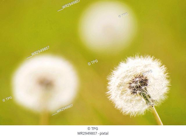 Group of dandelion, dandelion seeds will fly
