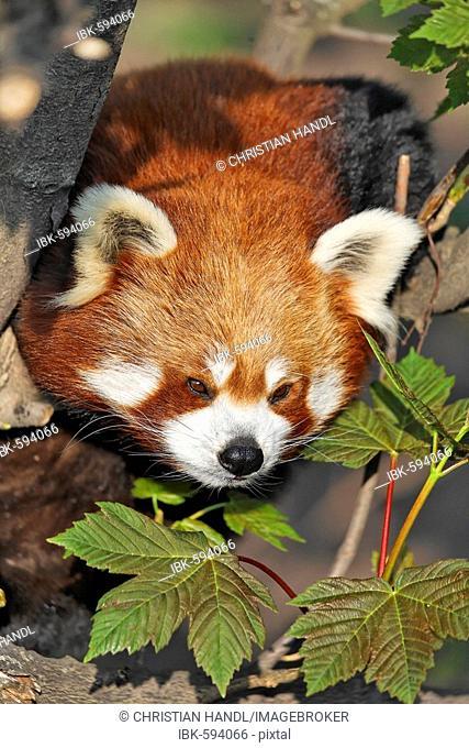 Red Panda (Ailurus fulgens), Schoenbrunn Zoo, Vienna, Austria, Europe