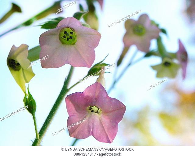 Flowering tobacco, Nicotiana sp