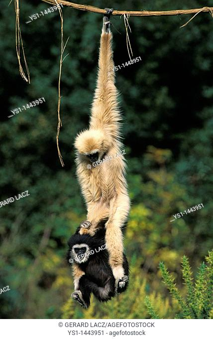 WHITE-HANDED GIBBON hylobates lar, MOTHER WITH YOUNG HANGING FROM LIANA