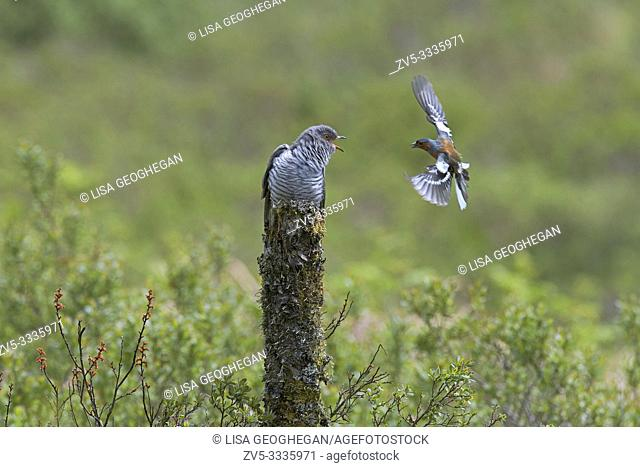 Chaffinch-Fringilla coelebs defends it's nesting site from male Cuckoo-Cuculus canorus