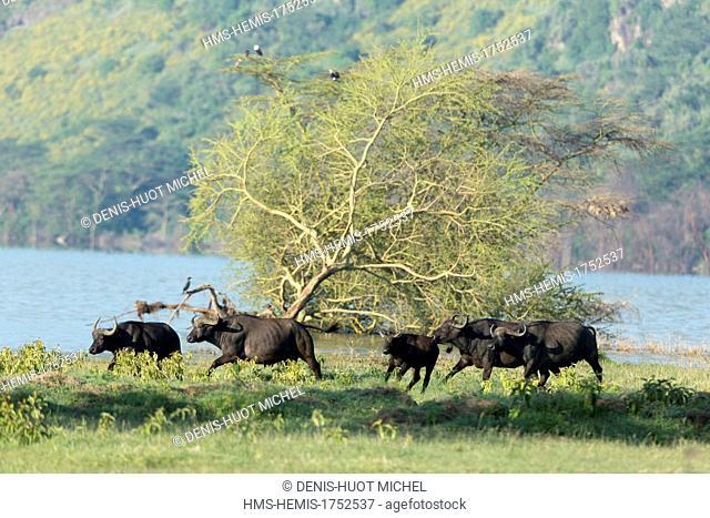 Kenya, Nakuru national park, buffaloes (Syncerus caffer), group running away