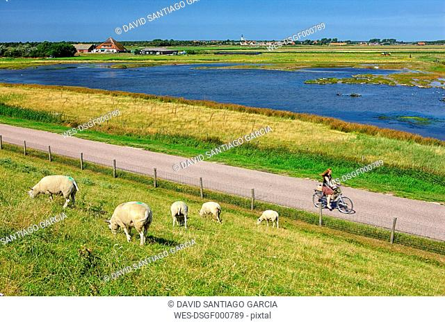 Netherlands, Texel Island, Den Burg, sheep grazing on dyke