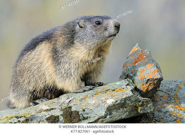Alpine Marmot (Marmota marmota), young. Großglockner, Austrian Alps