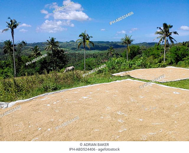 Philippines Leyte General Rice drying in the sun