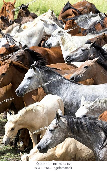 Nooitgedacht Pony. Mares on a pasture. South Africa