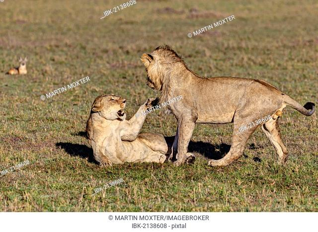 Lion and lioness fighting (Panthera leo) fighting, Masai Mara National Reserve, Kenya, East Africa, Africa, PublicGround