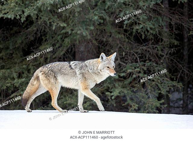 Coyote walking in the snow in the wilds of British Columbia, Canada