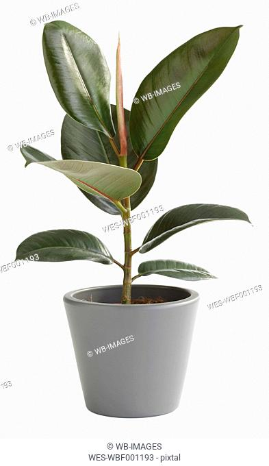 Rubber Tree In Pot Against White Background, Close Up