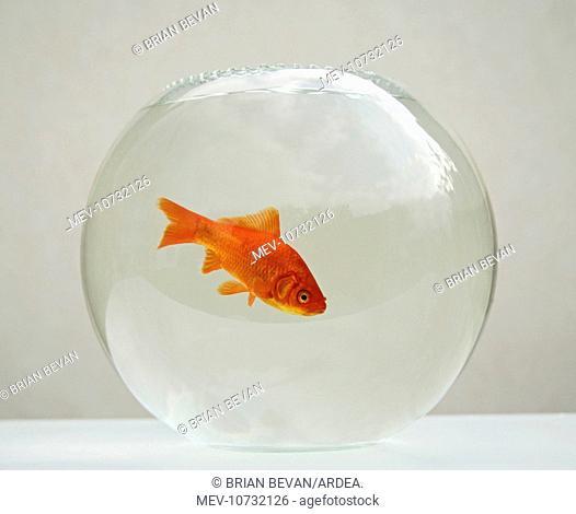 Goldfish - alone in goldfish bowl  (Carassius auratus)