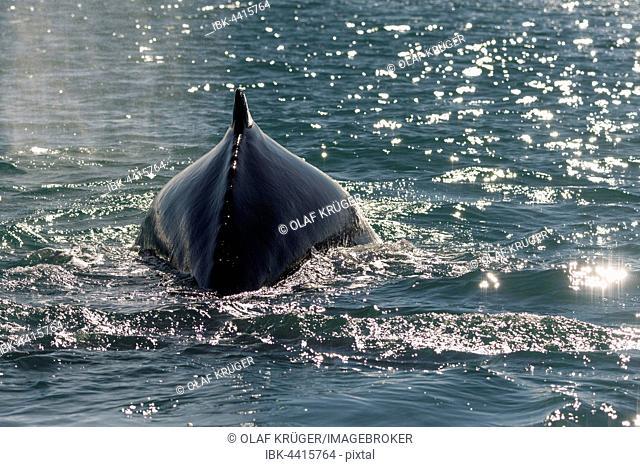 Humpback whale (Megaptera novaeangliae) diving, Eyjafjörður, Iceland