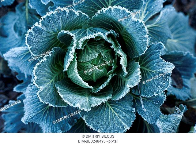 Frost on leaves of lettuce