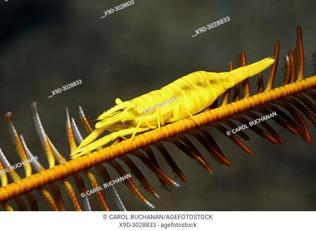 Yellow Crinoid Shrimp, female, Laomenes amboinensis. Previously described as Periclimenes amboinensis. Uepi, Solomon Islands