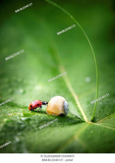 Close up of ladybug and snail on leaf