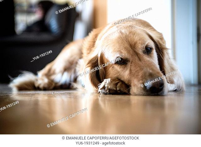 Golden retriever dog in the house