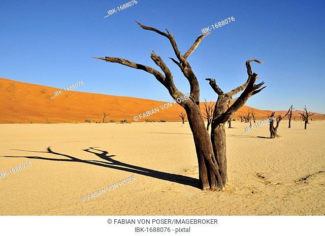 Dead trees in the Dead Vlei, Deadvlei clay pan in the morning light, Namib Desert, Namib-Naukluft National Park, Namibia, Africa