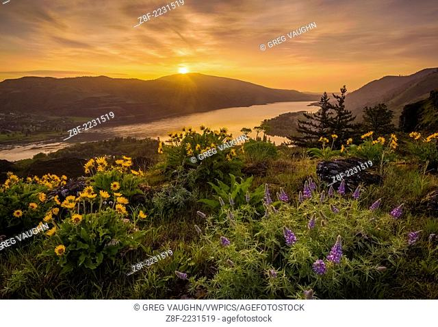 Lupine and balsamroot at Rowena Crest, Oregon, with sunrise over the Columbia River Gorge