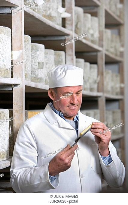 Cheese maker inspecting sample of farmhouse cheddar on cheese iron in cellar