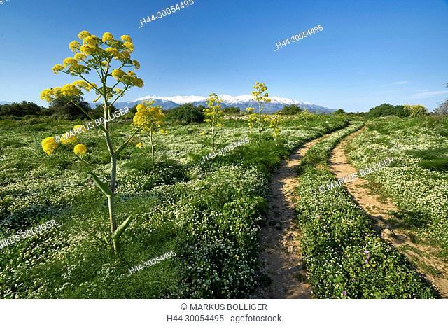 Crete, Greece, Aptera, shrub, umbel plants, Apiaceae, fennel, gigantic fennel, Ferula communis, way, country lane, mountains, scenery, white mountains