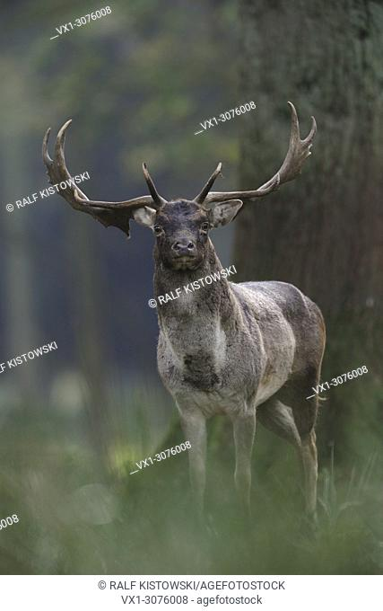 Alert Fallow Deer ( Dama dama ) stands between trees in a forest, looks directly into the camera, Europe