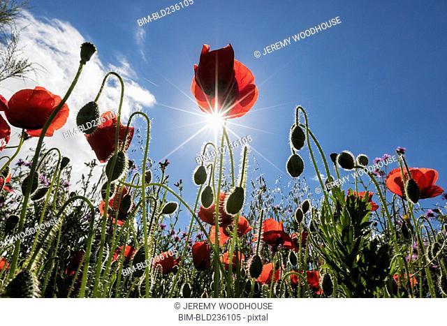 Red poppy flowers under blue sky
