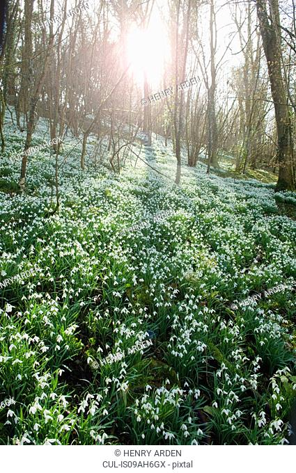 Snowdrops in sunlit forest