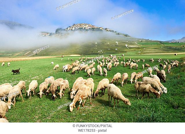 Sheep on the Piano Grande, Gret Plain, of Castelluccio di Norcia, Parco Nazionale dei Monti Sibillini , Apennine Mountains, Umbria, Italy