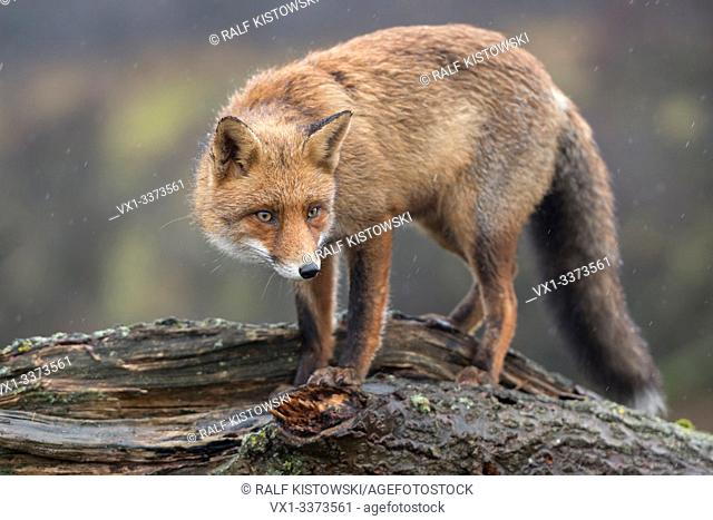 Red Fox / Rotfuchs ( Vulpes vulpes ) adult, climbing, standing on a fallen tree trunk, peering, tensed, cunning, wildlife, Europe