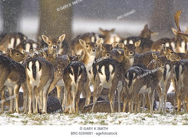 , Parkland fallow deer dama dama group huddled together in snowy conditions, Holkham hall Norfolk UK, December