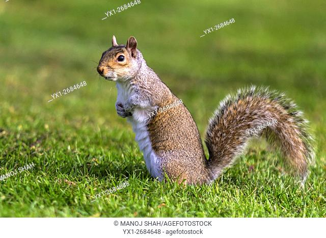 Grey squirrel in a London Park, UK