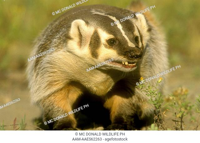 Badger (Taxidea taxuss) Western North America