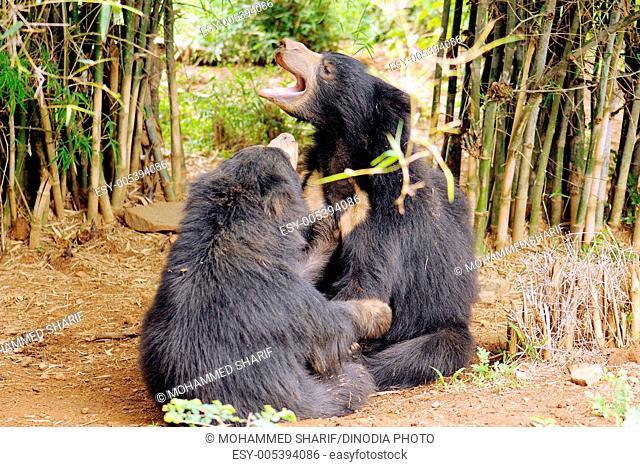 Sloth bear melursus ursinus fighting in forest at Bannerghatta National Park , Bangalore , Karnataka , India