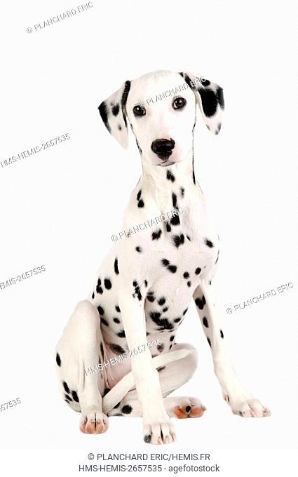Dalmatian dog (Canis lupus familiaris)