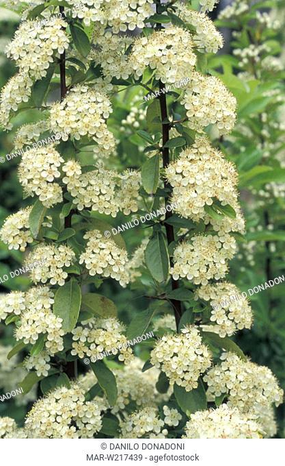 pyracantha coccinea flowers