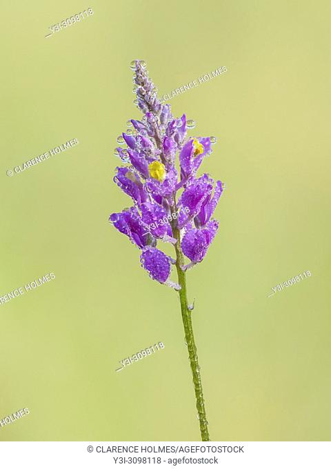 Dew covered flowers of a Chapman's Milkwort (Polygala chapmanii) inflorescence in a wet prairie habitat in Apalachicola National Forest in the panhandle of...