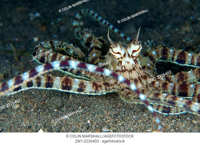 Mimic Octopus (Thaumoctopus mimicus) waving tentacles, Joleha dive site, Lembeh Straits, Sulawesi, Indonesia