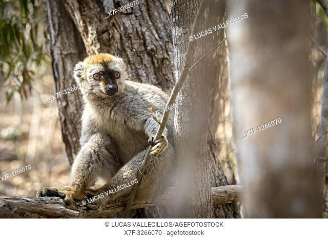 Red-fronted Brown Lemur in Isalo National Park, Madagascar