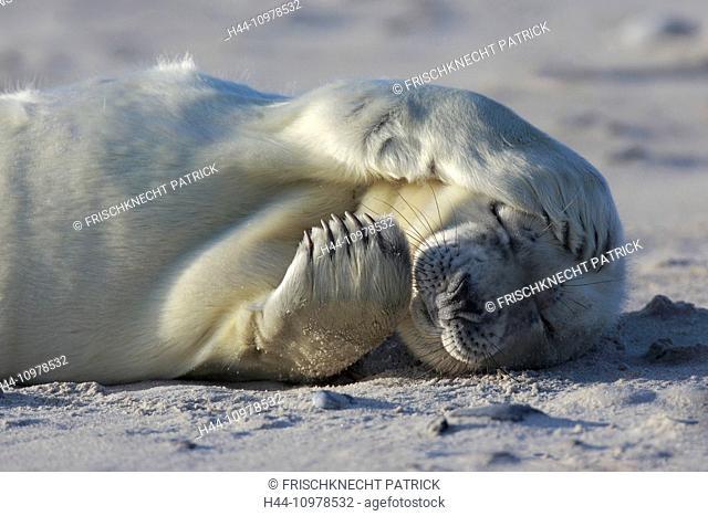 Baby animal, Germany, Europe, fin, fins, Halichoerus grypus, Helgoland, dune, island, isle, young, grey seal, coast, Lanugo, sea, marine mammal, nature, newborn